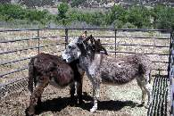 Burros near the Stables